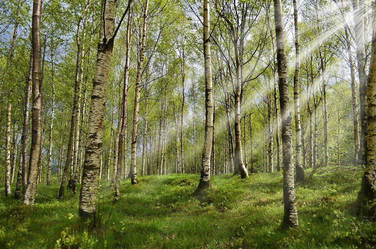 allergia metsä